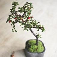 「冬を彩る盆栽ワークショップ」開催のお知らせ